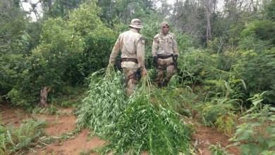 Photo of #Bahia: Polícia descobre 20 mil pés de maconha com sistema de irrigação em Xique-Xique