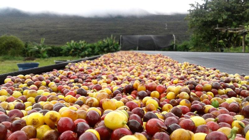 Café da Chapada Diamantina é destaque internacional; safra terá mais de 3 milhões de sacas