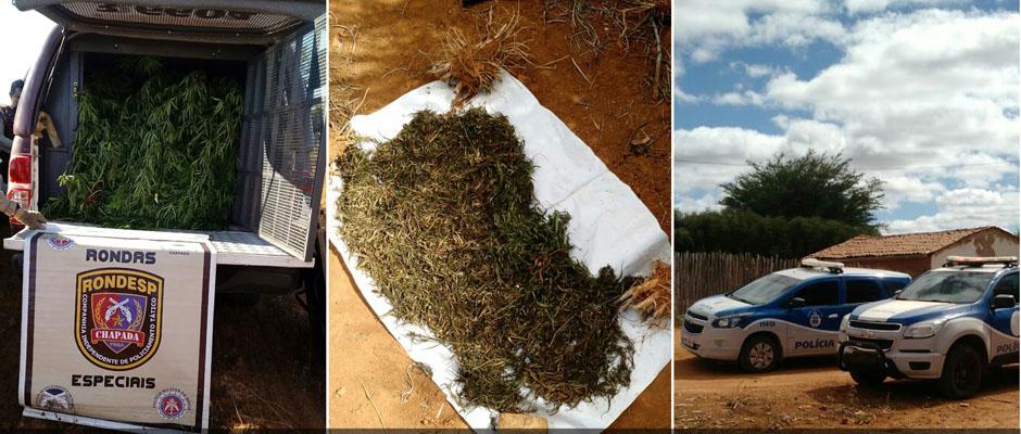 Chapada: Operação conjunta da Polícia Civil e Rondesp erradica plantação de maconha em Cafarnaum