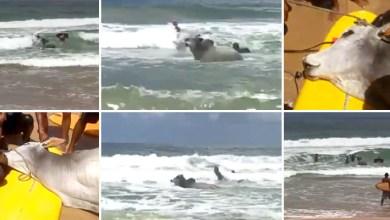Photo of #Vídeos: Surfistas flagram boi 'pegando onda' em Salvador; animal morreu afogado
