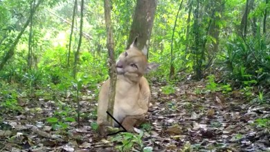 Photo of Chapada: Câmeras flagram animais ameaçados de extinção no Parque Estadual Sete Passagens em Miguel Calmon