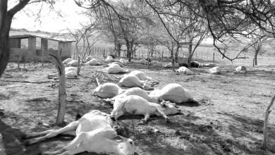 Photo of Chapada: Adab confirma intoxicação alimentar como causa da morte de rebanho em Tanhaçu