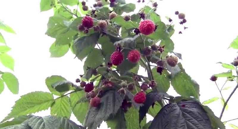 Chapada: Primeira colheita de amoras e framboesas acontece em pomar pioneiro em Mucugê