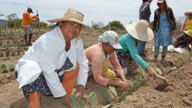Photo of Chapada: Plantio agroecológico de forragens anima produtores de Campo Formoso
