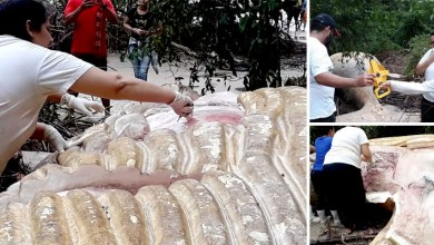 Photo of #Brasil: Baleia Jubarte encontrada de forma misteriosa em mata de praia no Pará passa por necropsia