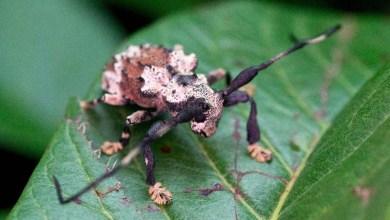 Photo of Descoberto no Peru, besouro venenoso que pica é encontrado no interior de São Paulo