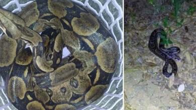 Photo of #Bahia: Cobra de 2 metros é encontrada em quintal de casa em Amargosa após família percebe 'sumiço' de galinhas