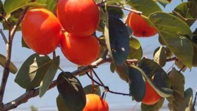 Photo of Chapada: Tempo frio contribui para produção de frutas nos municípios de Andaraí e Mucugê
