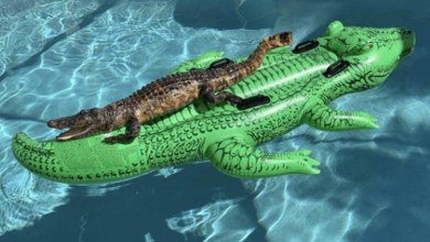 Photo of #Mundo: Foto de Jacaré flagrado 'relaxando' sobre boia de jacaré em piscina viraliza na internet
