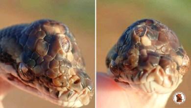 Photo of #Fotos: Cobra píton-tapete de três olhos é encontrada por zoólogos na Austrália