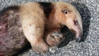 Photo of Chapada: Tamanduá-mirim ameaçado de extinção é encontrado morto próximo a loteamento em Jacobina