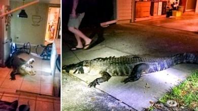 Photo of #Fotos: Jacaré de mais de três metros invade casa de moradora no estado da Flórida nos EUA