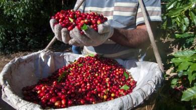 Photo of Cafeicultores da Chapada Diamantina estão otimistas com aumento no consumo do produto