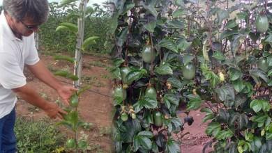 Photo of Chapada: Lençóis é polo de desenvolvimento de pesquisa de sistema orgânico para produção de maracujá