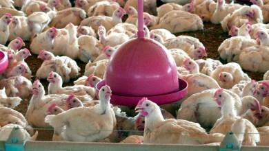 Photo of #Polêmica: Brasil pede explicações à China sobre frango supostamente contaminado por covid