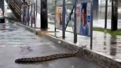 Photo of Debaixo de fortes chuvas, jiboia é flagrada atravessando avenida em Salvador; confira fotos e vídeos