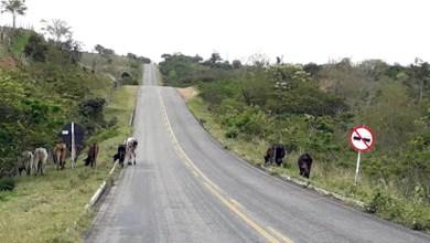 Photo of Chapada: Motoristas denunciam falta de segurança com animais soltos na BA-130 entre Mairi e saída para Várzea da Roça