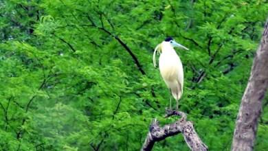 Photo of Chapada: Garça-real é fotografada por morador de Itaberaba; ave vive solitária e se destaca por plumagem incomum