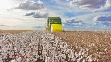 Photo of #Brasil: Safra de 1,5 milhão de toneladas de algodão confirma Bahia em segundo lugar na produção nacional