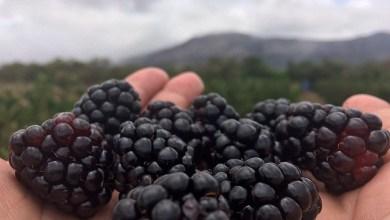 Photo of Chapada: Produção de morangos e amoras tem aumento no crescimento e vira até atração turística na região