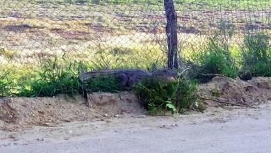 Photo of Chapada: Moradores se surpreendem ao avistar jacaré em estrada na região do aeroporto de Jacobina