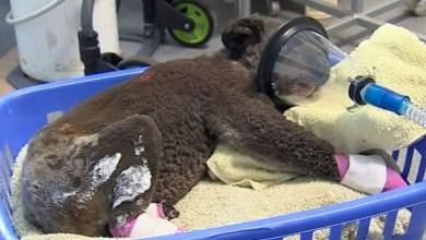 Photo of #Mundo: Incêndio na Austrália pode ter matado um terço da população de coalas