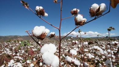 Photo of #Bahia: IBGE aponta crescimento de 0,8% para safra de algodão em 2020 no estado
