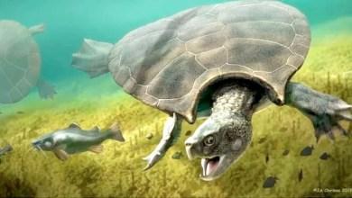Photo of #Mundo: Encontrado fóssil de tartaruga pré-histórica do tamanho de um carro que viveu na Amazônia