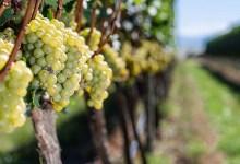 Photo of #Chapada: Projeto de produção de vinhos em Mucugê deve gerar emprego e renda; conheça o empreendimento