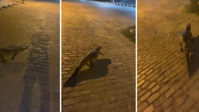 Photo of #Chapada: Jacaré é flagrado 'passeando' pelas ruas do município de Central; veja vídeo