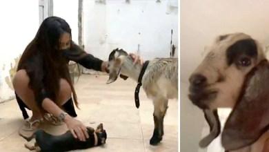 Photo of #Vídeo: Imagens de jovem baiana que adotou um bode como animal de estimação viralizam na internet; veja aqui