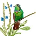 Gravura beija-flor-de-gravata-vermelha-Augastes lumachella - FOTO: Divulgação |