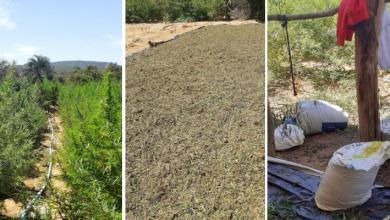 Photo of #Chapada: Policiais militares e civis localizam e erradicam plantação com 20 mil pés de maconha em Seabra