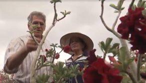Rosas do deserto são antigas paixões de Damaris Rodrigues e Júlio Rodrigues | FOTO: Divulgação |