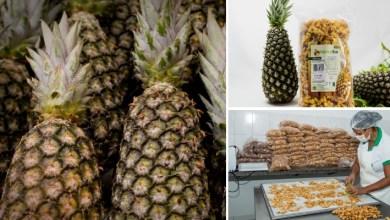 Photo of #Chapada: Colheita de abacaxi em Itaberaba promete ser a maior dos últimos cinco anos, segundo cooperativa