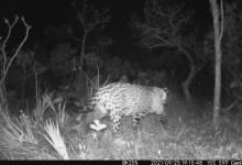 Photo of #Brasil: Onça-pintada é flagrada em câmara de monitoramento no Parque Nacional de Brasília