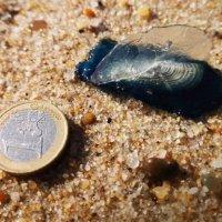 Medusa Velella velella deixa praias do Oeste em alerta