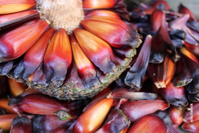 UFPR lança concurso para premiar pinhas gigantes