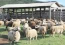 Programa vai estimular a produção de caprinos e ovinos