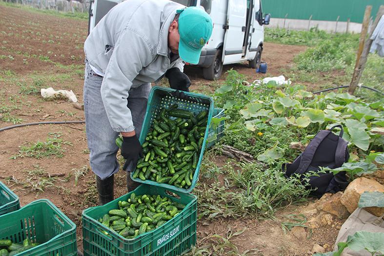 Pepino é uma produção com venda garantida