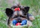 Atenção na Páscoa: chocolate é veneno para os cães