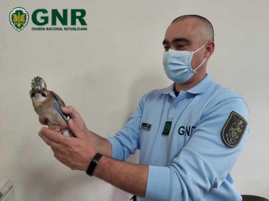 GNR resgata aves em Proença-a-Nova e na Sertã