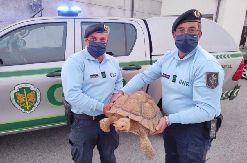 Castelo Branco: GNR resgatou tartaruga africana