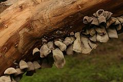 Polillas pegadas a la madera, para penetrarlas y abrir sus galerías...