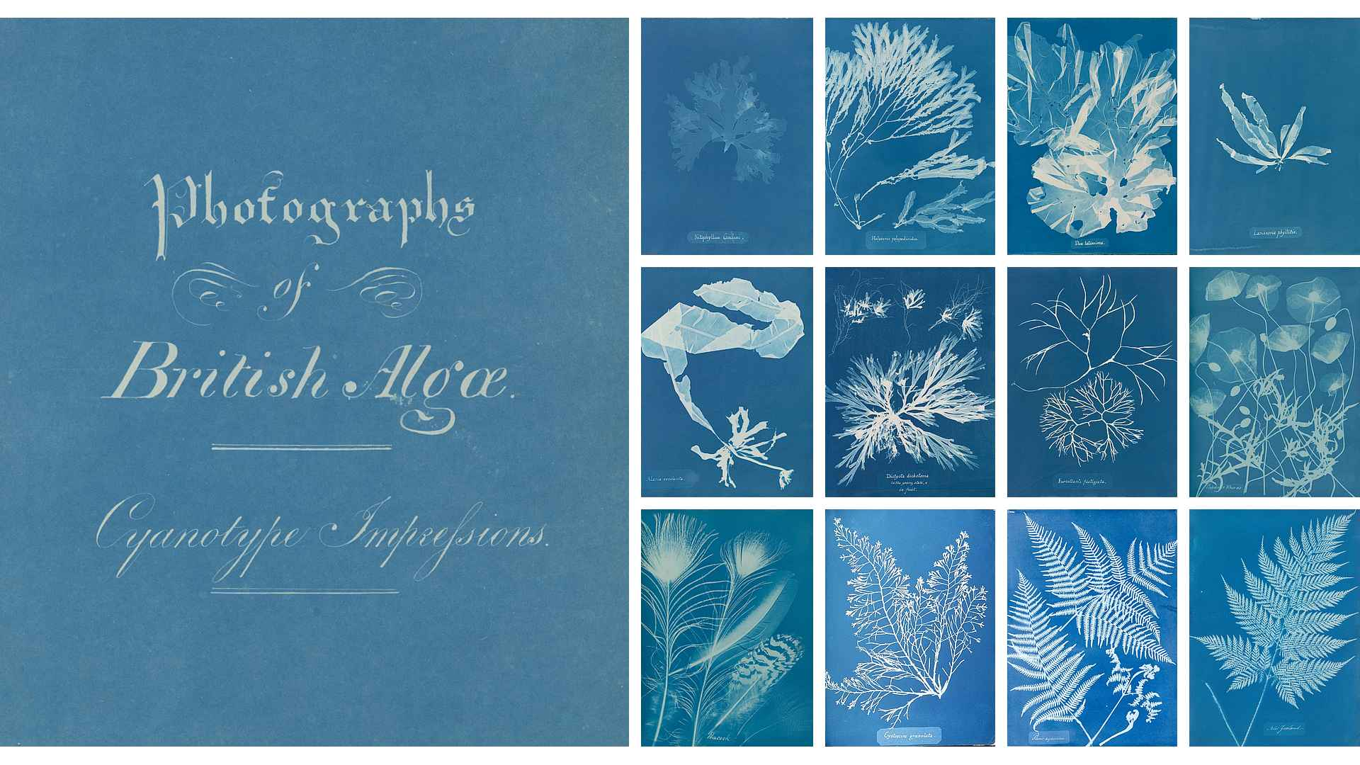 British Algae. Cyanotype Impressions