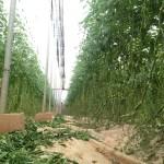 La importación de tomate de Marruecos crece un 75% en lo que va de año