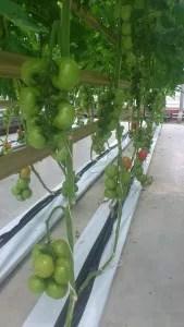 tomates-centro-alemán