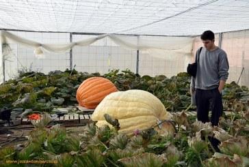 (vídeo) Calabazas de más de 400 kilos en invernadero