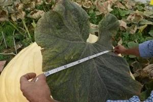 Calabazas gigantes y sus hojas