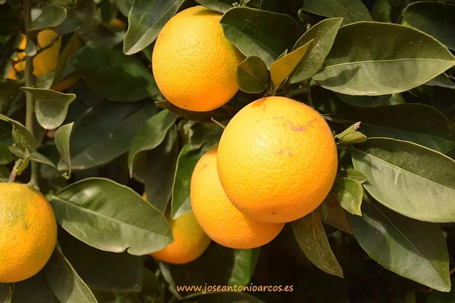enfermedades-de-los-naranjos